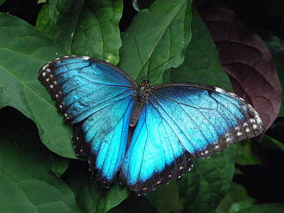 Photograph - Blue Morpho by Peggy King