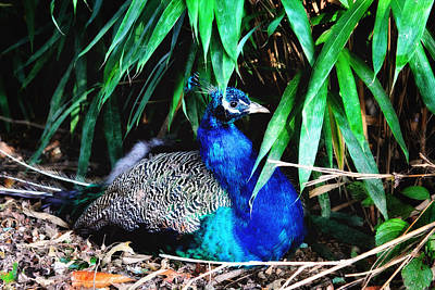 Photograph - Blue Peacock by Trina  Ansel
