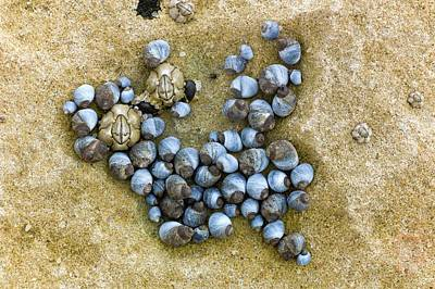 Blue Periwinkles On A Rocky Shore Art Print