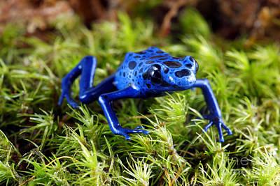 Blue Poison Dart Frog Print by Brandon Alms