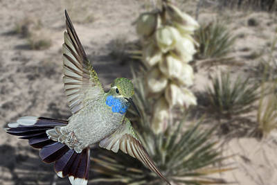 Photograph - Blue-throated Hummingbird And Yucca by Gregory Scott