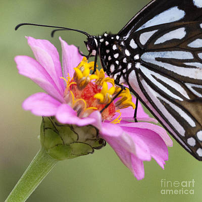 Photograph - Blue Tiger Butterfly by Chris Scroggins