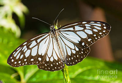Photograph - Blue Tiger Butterfly by Millard H Sharp