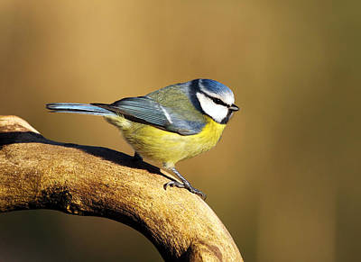 Blue Tit Photograph - Blue Tit by Grant Glendinning