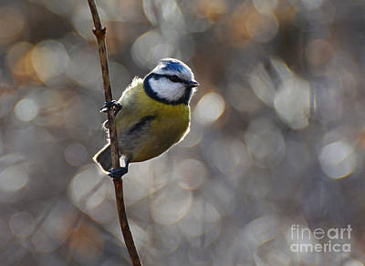 Photograph - Blue Tit  by Jaroslaw Blaminsky