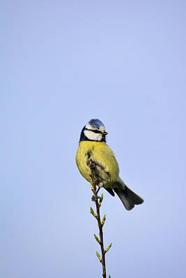 Blue Tit  Original