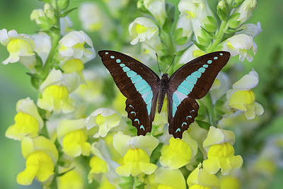 Snapdragons Photograph - Blue Triangle Butterfly, Graphium by Darrell Gulin