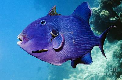 Blue Triggerfish And Cleaner Wrasse Art Print by Georgette Douwma