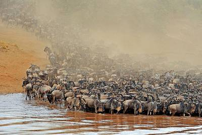 White Beard Photograph - Blue Wildebeest Migration by Bildagentur-online/mcphoto-schulz