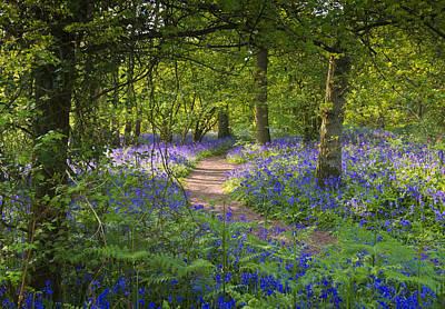 Bluebell Woods Walk Art Print