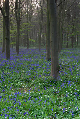 Photograph - Bluebells In Oxey Wood by Nick Atkin