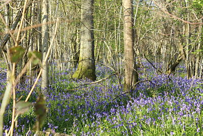 Photograph - Bluebells Colour by Katy Mei