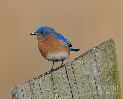 Photograph - Bluebird by Craig Leaper