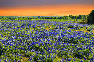 Bluebonnet Sunset  Art Print