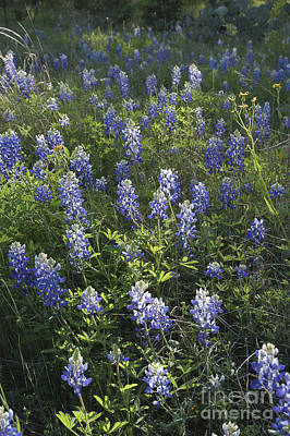 Photograph - Bluebonnets by Gregory G. Dimijian