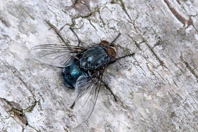 Bluebottle Fly Art Print