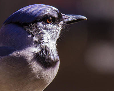 Photograph - Bluejay by Robert L Jackson