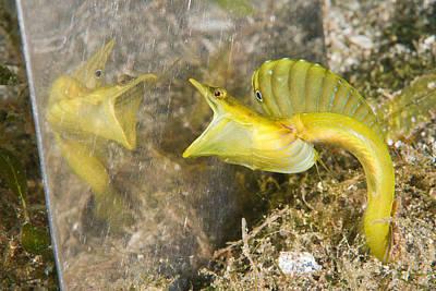 Aquatic Display Photograph - Bluethroat Pikeblenny by Andrew J. Martinez
