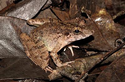 Blyth Photograph - Blyths River Frog by Fletcher & Baylis