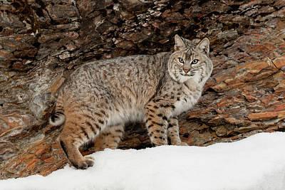 Lynx Rufus Photograph - Bobcat In Snow (captive by Adam Jones
