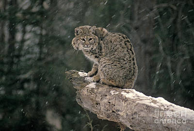 Bobcat Lynx Rufus In Winter Snow Art Print by Ron Sanford