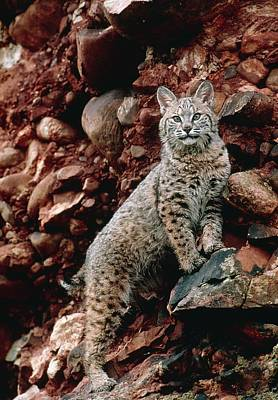 Bobcat Wall Art - Photograph - Bobcat by William Ervin/science Photo Library
