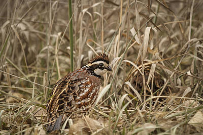 Photograph - Bobwhite Quail by Scott Bean