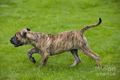 Brindle Photograph - Boerboel Puppy Dog by Johan De Meester