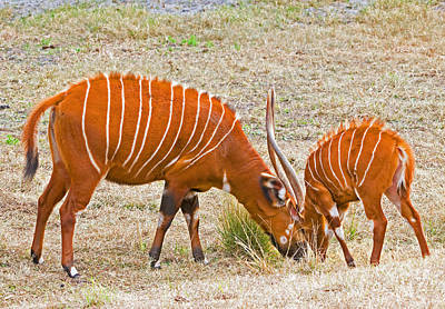 Bongo Photograph - Bongo Mother And Calf by Millard H. Sharp