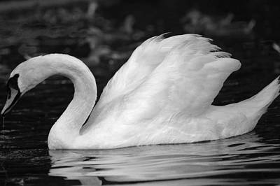 Boston Public Garden Swan Art Print