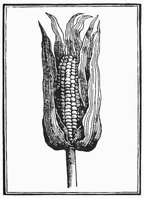 Corn Painting - Botany Corn, 1535 by Granger