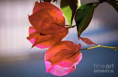 Photograph - Bougainvillea by Robert Bales
