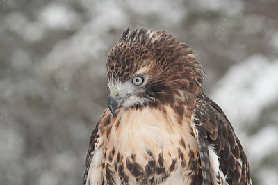 Photograph - Bowing Red-tailed Hawk by Joye Ardyn Durham