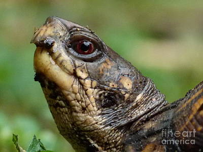 Photograph - Box Turtle by Jane Ford