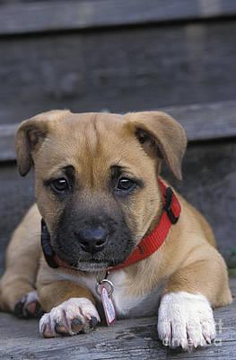 Id Tag Photograph - Boxer Mix Puppy Dog by Suzi Eszterhas