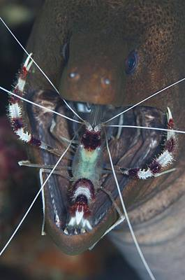 Boxer Shrimp Cleaning In Mouth Of Eel Print by Science Photo Library