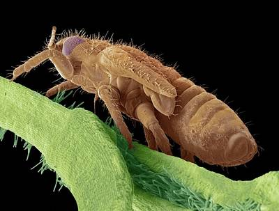 Sap Photograph - Boxwood Psyllid Larva by Steve Gschmeissner