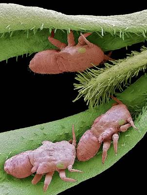 Sap Photograph - Boxwood Psyllid Larvae by Steve Gschmeissner