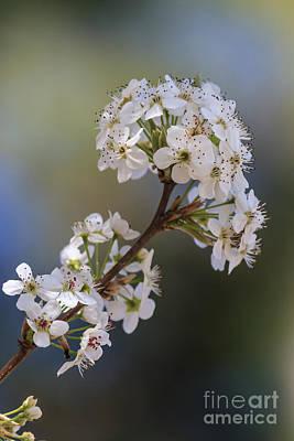 Photograph - Bradford Blossoms II by Gene Berkenbile