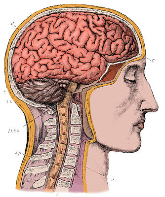 Brain From Right Side, 1883 Art Print
