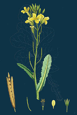 Cabbage Drawing - Brassica Oleracea Sea Cabbage by English School
