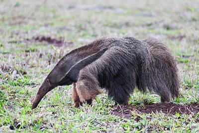Anteater Photograph - Brazil, Mato Grosso Do Sul, Near Bonito by Ellen Goff