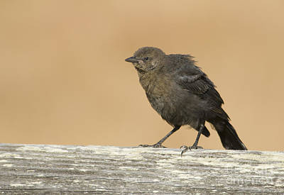 Photograph - Brewer's Blackbird by Dan Suzio
