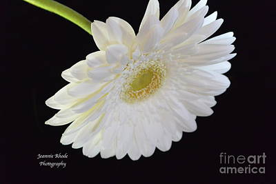 Art Print featuring the photograph Bright White Gerber Daisy # 2 by Jeannie Rhode