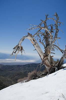 Photograph - Bristlecone Pine by Dan Suzio