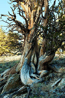 Bristlecone Photograph - Bristlecone Pine Grove At Ancient by Panoramic Images