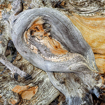 Bristlecone Photograph - Bristlecone Pine Tree Trunk by Babak Tafreshi