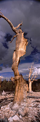 Bristlecone Photograph - Bristlecone Pine Trees Pinus Longaeva by Panoramic Images