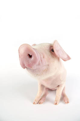 Angle Fishes Photograph - British Lop Piglet by John Daniels