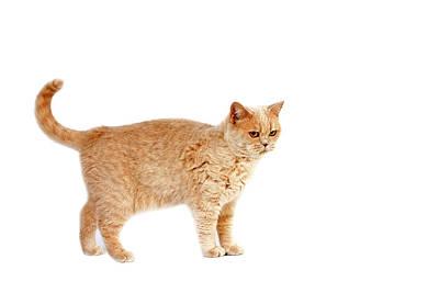 Domestic Short Hair Cat Photograph - British Shorthair Creme by Gerard Lacz